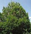 Carpinus betulus 'fastigiata' (upright European hornbeam) 2 (49080668718).jpg