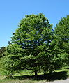 Carpinus tschonoskii - Arnold Arboretum - DSC06907.JPG