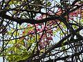 Cassia grandis (2391771597).jpg