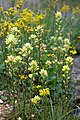 Castilleja coccinea yellow.jpg