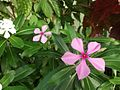 Catharanthus roseus - Kew 37.jpg