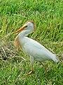 Cattle Egret (Bubulcus ibis) -walking in grass3.jpg