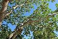 Cecropia peltata - Naples Botanical Garden - Naples, Florida - DSC00067.jpg