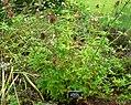 Cedronella canariensis 1.jpg
