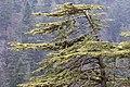 Cedrus libani - Lübnan sediri 01.jpg