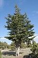 Cedrus libani - Lebanon cedar 04.jpg