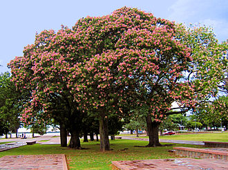Ceiba speciosa - Trees in flower at the National Flag Memorial Park in Rosario, Argentina.