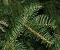 Cephalotaxus sinensis (Chinese Plum Yew) (31293737175).jpg