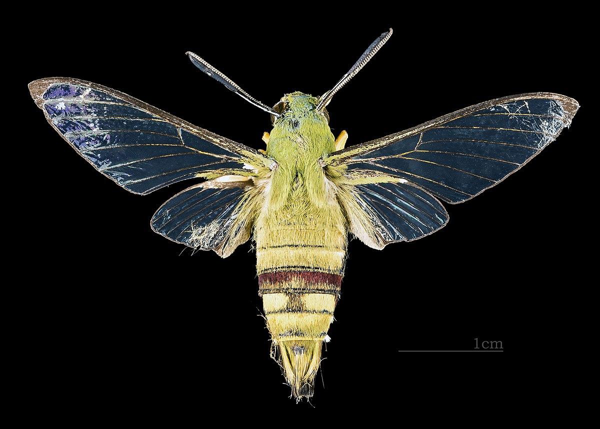 Sưu tập Bộ cánh vẩy  - Page 31 1200px-Cephonodes_picus_MHNT_CUT_2010_138_Aurangabad_India_male_dorsal