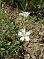 Cerastium arvense subsp. arvense sl4.jpg