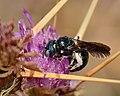 Ceratina chalcites female 3.jpg