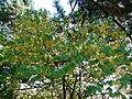 Cercidiphyllum japanicum.JPG
