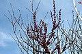 Cercis chinensis Avondale 20zz.jpg