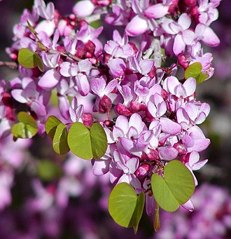 Cercis occidentalis - Image: Cercis occidentalis branch