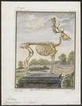 Cervus dama - skelet - 1700-1880 - Print - Iconographia Zoologica - Special Collections University of Amsterdam - UBA01 IZ21500156.tif