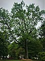 Chêne saint aubin 20.jpg