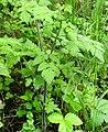 Chaerophyllum temulum stem (04).jpg