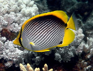Blackback butterflyfish species of fish