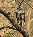Changeable Hawk Eagle AMSM1056.jpg