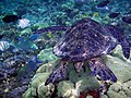 Chelonia mydas and reef fishes.jpg