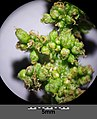 Chenopodium bonus-henricus sl26.jpg