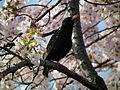 Cherry Blossom DC 2014 (14077779856).jpg