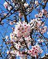 Cherry blossoms Lake Balboa (20140330-0319).JPG