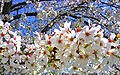 Cherry blossoms tree.jpg