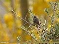 Chestnut Bunting (Emberiza rutila) (38285044761).jpg