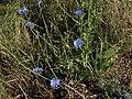 Chicory, Cichorium intybus (16771342722).jpg