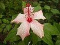 Chinese Hibiscus.JPG