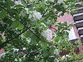 Chionanthus retusus - Chinese Fringetree - Taipei - 2.jpg