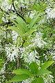 Chionanthus virginicus kz06.jpg