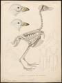 Chionis alba - kop en skelet - 1841-1852 - Print - Iconographia Zoologica - Special Collections University of Amsterdam - UBA01 IZ17200327.tif