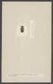Choleva - Print - Iconographia Zoologica - Special Collections University of Amsterdam - UBAINV0274 001 03 0006.tif