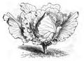 Chou pointu de Winnigstadt Vilmorin-Andrieux 1883.png