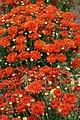 Chrysanthemum x grandiflorum Flashy Gretchen 1zz.jpg