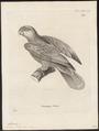 Chrysotis prêtrei - 1700-1880 - Print - Iconographia Zoologica - Special Collections University of Amsterdam - UBA01 IZ18600117.tif