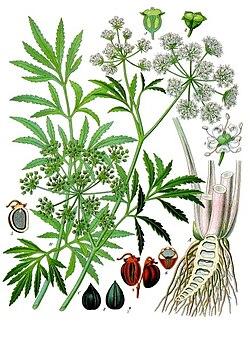 Cicuta virosa - Köhler–s Medizinal-Pflanzen-038 cropped.jpg