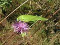 Cirsium arvense&grasshopper20100819 086.jpg