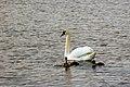 Cisnes en Baju, Gotland.jpg