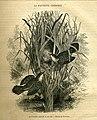 Cisticolid warblers (13529283973).jpg