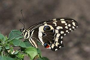 Papilio - Citrus swallowtail (Papilio demodocus)