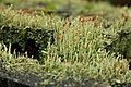 Cladonia macilenta (KK).jpg