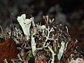 Cladonia macilenta 61506871.jpg