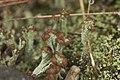 Cladonia sp. (37725361915).jpg