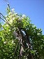 Clematis ligusticifolia climbing-8-27-04.jpg