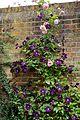Clematis viticella 'Étoile Violette' and rose at Boreham, Essex, England.jpg