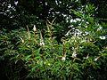 Clethra delavayi - Flickr - peganum.jpg