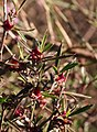 Cliffortia acutifolia Helme 2.jpg